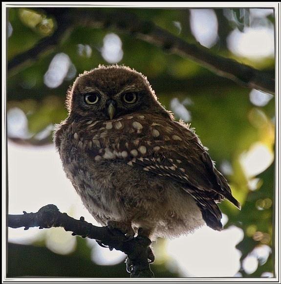 Baby little owl by betts