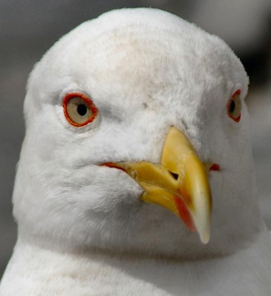 Seagull Head cropped by ianofarabiaz