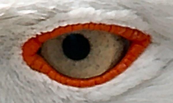 seagull eye by ianofarabiaz