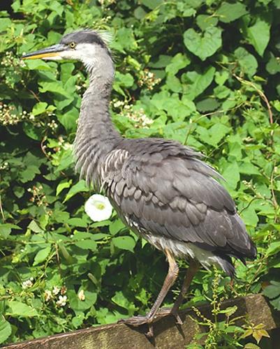 Heron on the Fence 2 by SiSheff