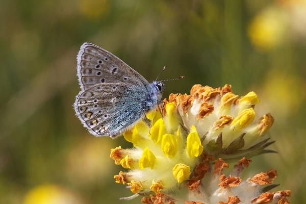 Common Blue by coxy