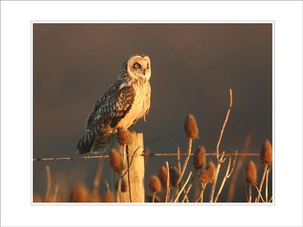 Short-eared Owl by DannyVokins