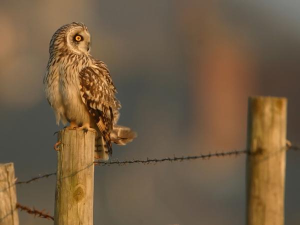 SHORT-EARED-OWL by DannyVokins