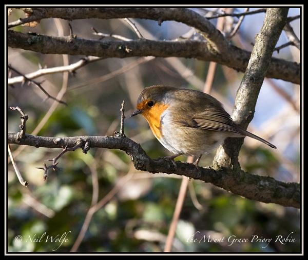 Robin by lobo_blanco