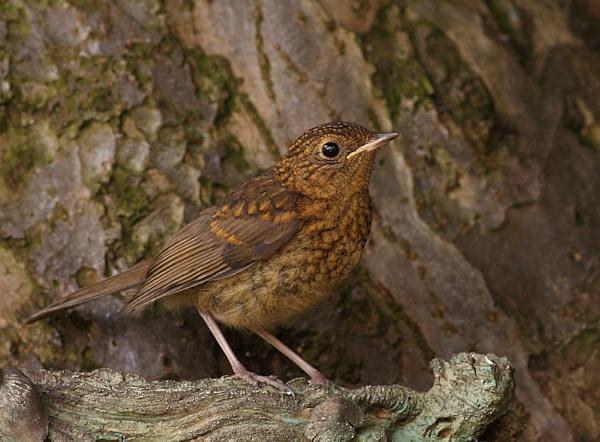 Juvenile Robin by Karen_Summers