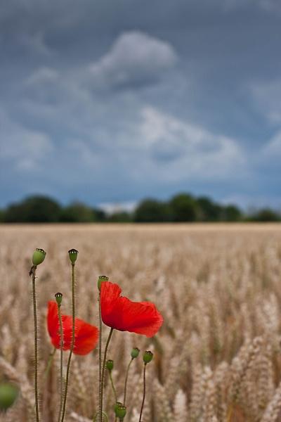Poppy & Corn by cmf