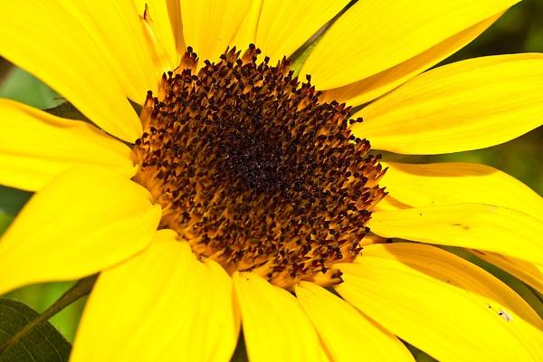 Sunflower by cmf