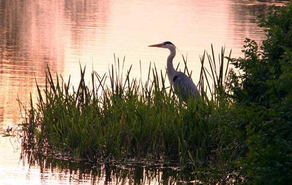 Heron at sunset by Brian65