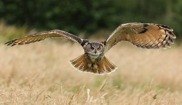 EAGLE OWL in flight by LeeFisher