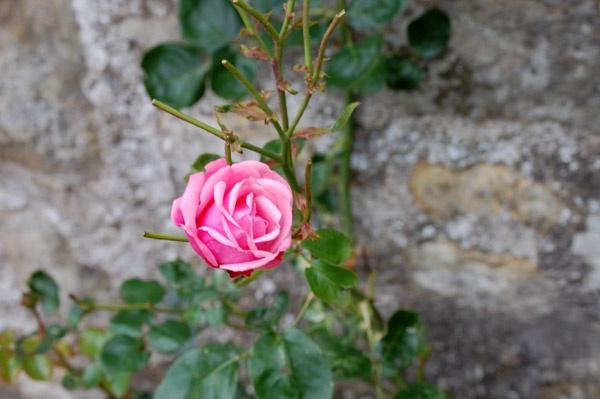 rose by linda68