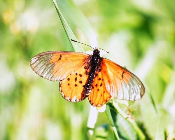 Butterfly by Fritz_Schoultz
