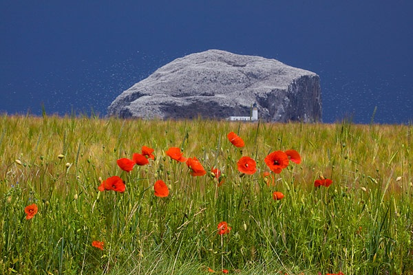 BASS ROCK POPPIES by maclarens