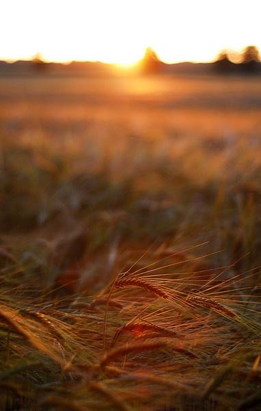 Wheat field by NikLG