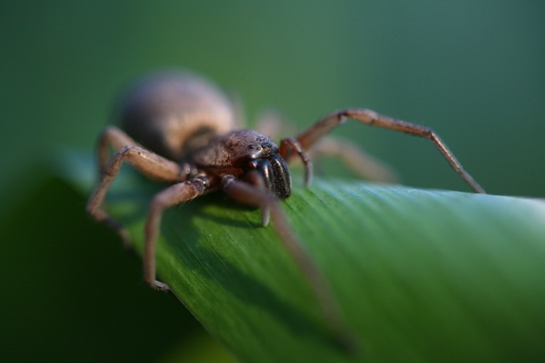 HOUSE SPIDER by michaelo
