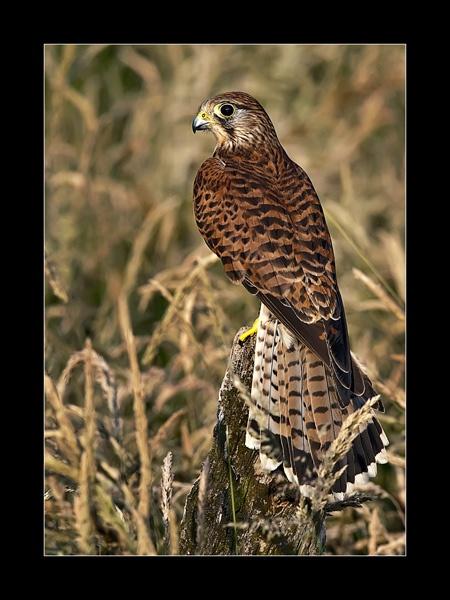 Falco tinnunculus by JJ_A