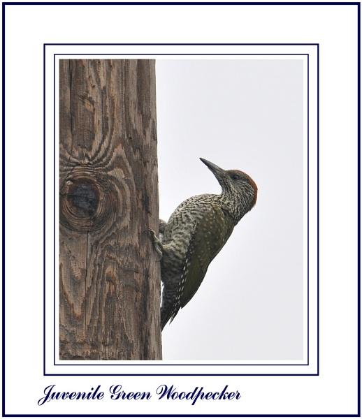 Juvenile Green Woodpecker by Maiwand
