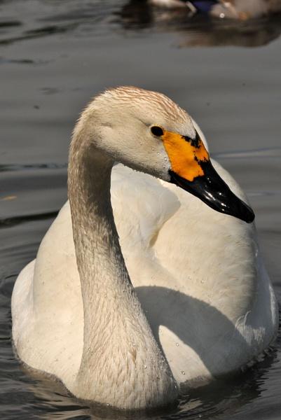 Swan by steveprice