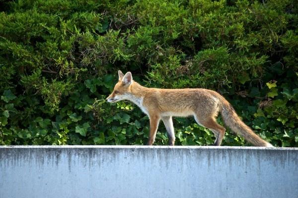 City Fox by JasperD