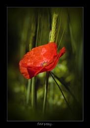 Field poppy.