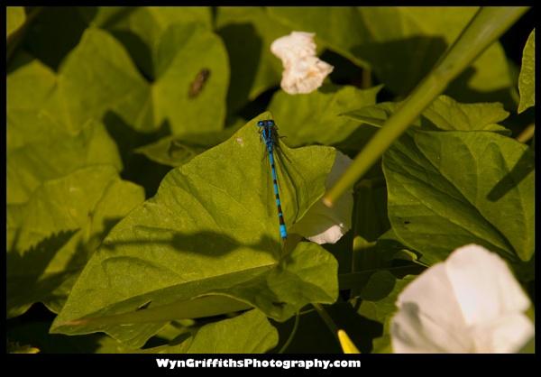 Dragon Fly by Wyn