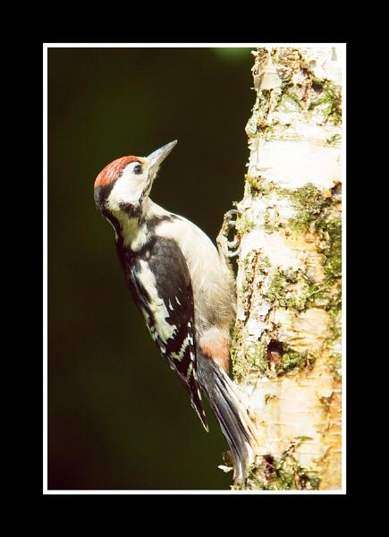 Wood Pecker by jos