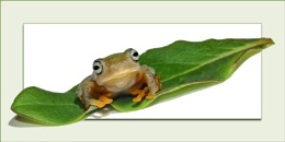 Flying frog portrait
