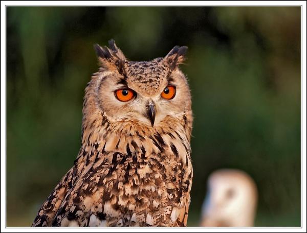 Rock Eagle Owl by BERTRAM