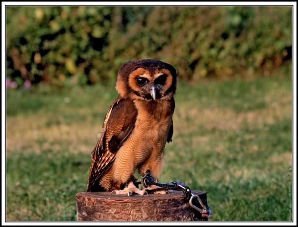 Asian Brown Wood Owl by BERTRAM