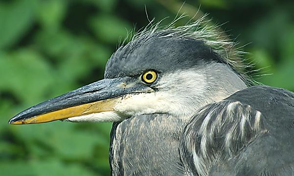 Heron Eye by SiSheff