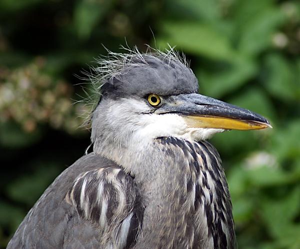 Rude Heron by SiSheff