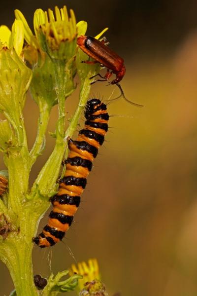 cinnabar-caterpillar-and-rhagonycha-fulva by AnthonyF