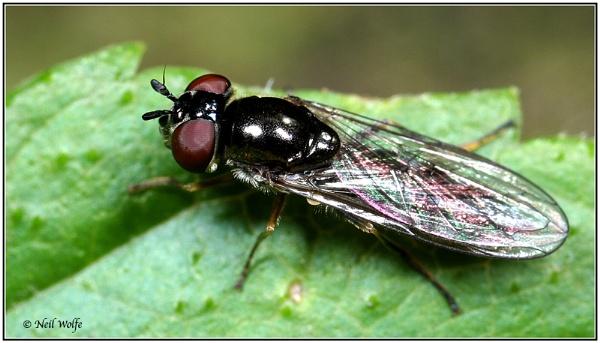 Black Fly by lobo_blanco