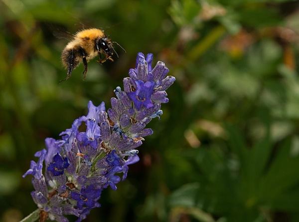 Bee Landing by stormcrowuk