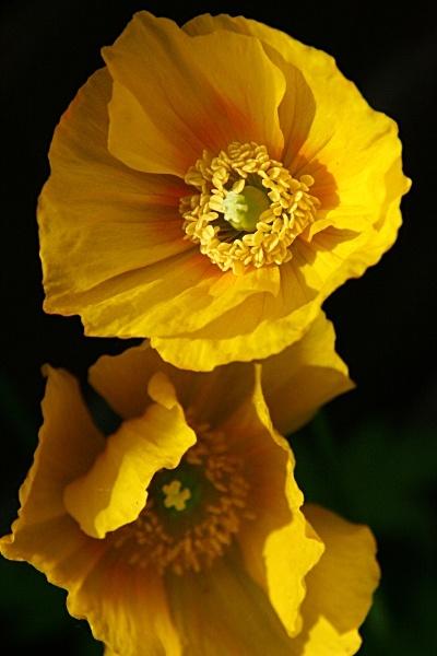 Yellow Flowers by stevenclark