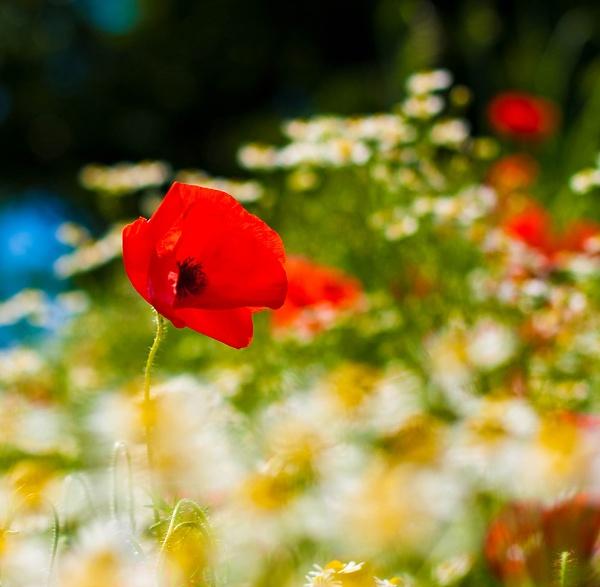 Poppy & Daisy by cmf