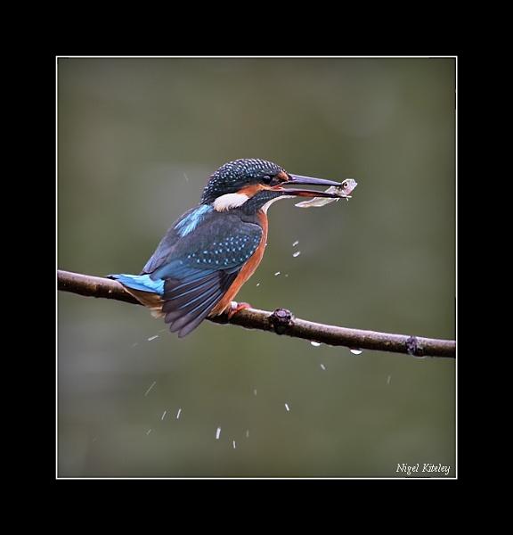 Kingfisher by NigelKiteley