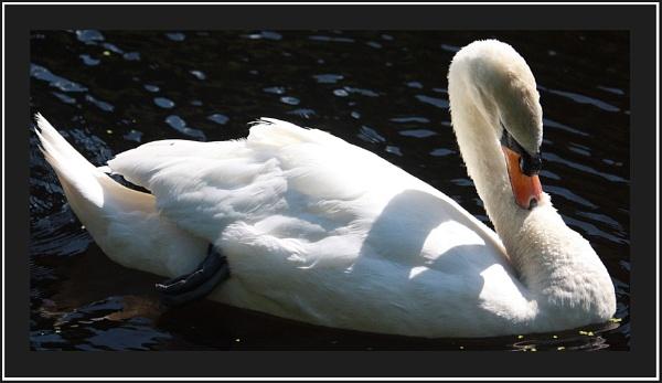 Swan by maryannem