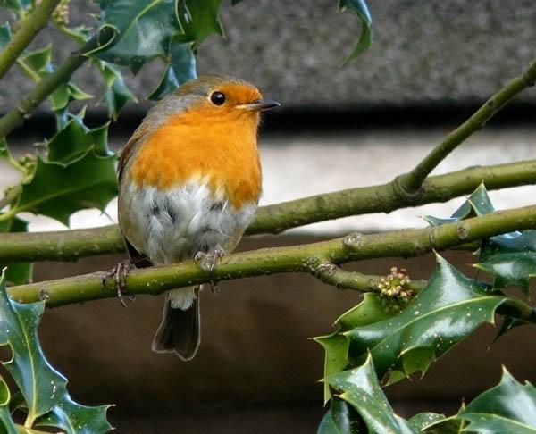 Robin by Genuinedabber
