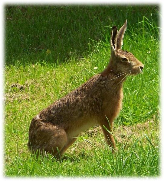 Wet Hare by Pixiecat