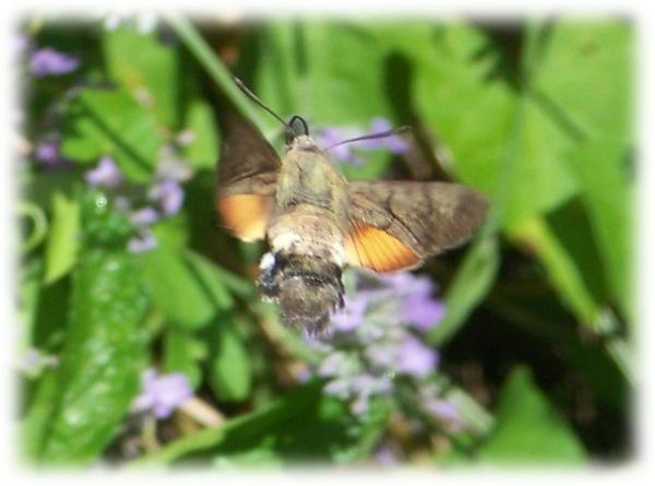 Humming bird moth by Pixiecat