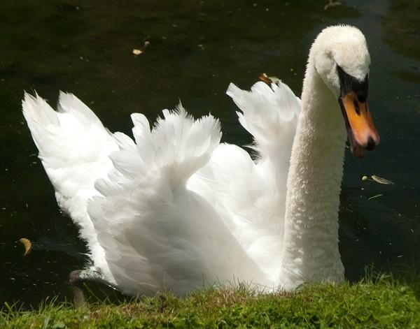 Swan by javas