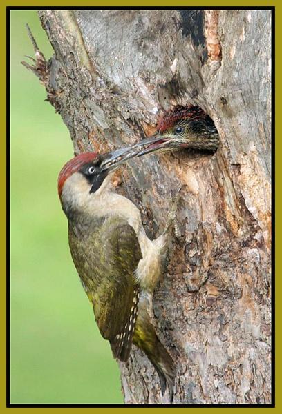 *Green woodpecker* by Dorothea