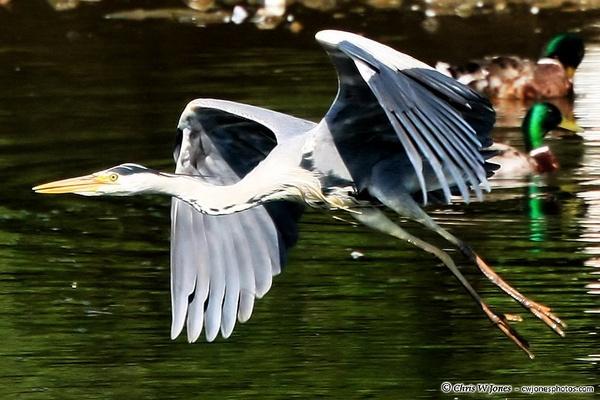 Gray Heron 2 by jones330