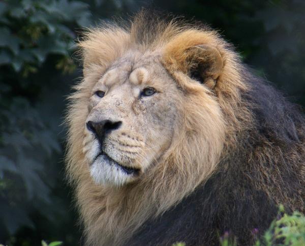 Lion by carlw