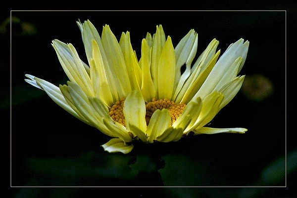 Leucanthemum by Alan_Baseley