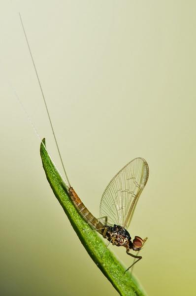 Is it a Mayfly?