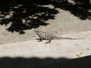 Mexican Lizard by thelala