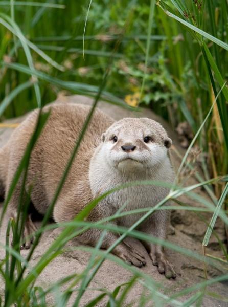 Young Otter by EDWARDPARRISH