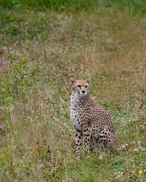 Cheetah by EDWARDPARRISH