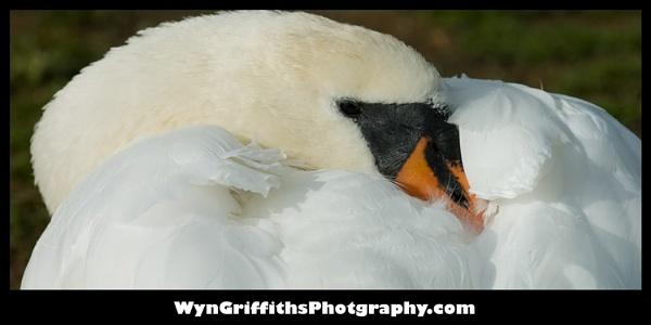 Swan by Wyn